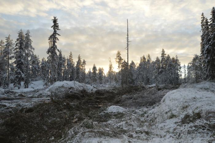 Swedish forest landscape after forwarding